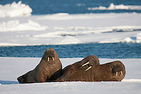 Polar bear and Walrus, Svalbard, Norway