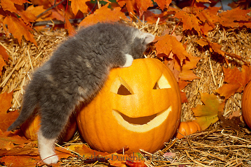 Gray kitten explores the insides of a carved pumpkin in fall Halloween display