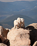 Three Mountain Goat kids playing in the mountains