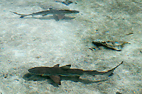 Raja Ampat Archipelago, West Papua, Indonesia, December 2010. Juvenile black tip reef sharks patrol the shallow waters near the beach. Thousands of small islands fringed by coral reefs and blue water mangroves litter the Raja Ampat archipelago. The turquoise and blue waters are teeming with marine life that forms the livelihood for the local Papuan population. The Raja Ampat Research & Conservation Centre (RARCC) supports the locals to develop a community based, sustainable tourism project, inviting visitors to explore their islands by sea kayak and experience the culture by staying amongst the local people in traditional style homestays. Photo by Frits Meyst/Adventure4ever.com
