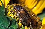 Cockchafer on sunflower. .United Kingdom....
