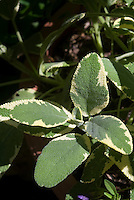 Salvia officinalis 'La Crema' culinary sage - variegated form of Berggarten sage from Hort Couture Avant Garde Annuals