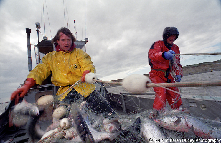 Sockeye salmon fishing in Bristol Bay Alaska on board the F/V Dr. Jack in July 1998