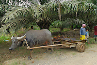 Oil Palm plantation with workers and a Water Buffalo pulling a cart, Sabah, Borneo, Malaysia
