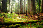 Idaho, Northern, Shoshone County, Coeur d'Alene National Forest. Sun burns through morning mist to the moss covered forest floor.