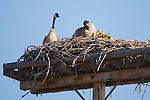 Canada Geese and chicks on a platform nest in Montana
