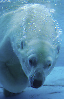 Polar Bear (Thalarctos maritimus) adult underwater