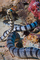 Dongala, Central Sulawesi, Indonesia, November 2010. 2 banded sea kraits wrestle or mate. Being directly situated at the headland of the picturesque Bay of Palu, Central Sulawesi, Dongala is the perfect place to spend some time diving the cristal clear waters over the tropical coral reefs. Photo by Frits Meyst/Adventure4ever.com