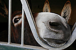 A donkey is seen poking his nose out of a stable at Ardenode Stud, County Kildare, Ireland on Sunday, June 23rd 2013. (Photo by Brian Garfinkel)