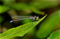 338630013 a wild male springwater dancer argia plana perches on a plant leaf feeding on a small bug near empire creek las cienegas natural area santa cruz county arizona united states