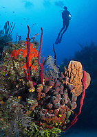 TH3827-Dv. Scuba diver (model released) soars above coral reef with colorful sponges. Cuba, Caribbean Sea. Cropped to vertical from native horizontal format.<br /> Photo Copyright &copy; Brandon Cole. All rights reserved worldwide.  www.brandoncole.com