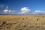 South America, Peru, the Andes. Cows grazing on an Andean plateau.