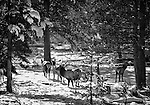A small elk herd stands in the snow in Yellowstone National Park.