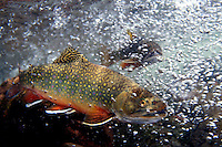 Brook Trout, Underwater