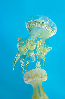 435550005 spotted jellyfish mastigias papua float and swim in their enclosure at the long beach aquarium in long beach california - species is native to the southwestern indo-pacific ocean especially the ocean around palau