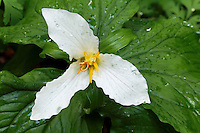 White trillium, found along Wahkeena Creek Trail, Columbia River Gorge National Scenic Area, Oregon, USA