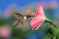 Ruby-throated Hummingbird (Archilochus colubris), male in flight feeding on Hibiscus flower, Hill Country, Central Texas, USA