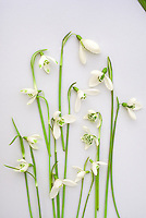 Snowdrops studio (Galanthus), cut flower variety mixture in winter spring bulb bloom, ready for pressing pressed flower arrangement