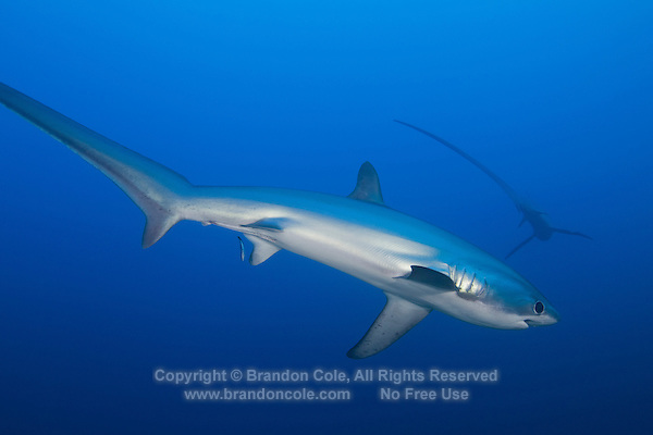RA50146-D. Pelagic Thresher Sharks (Alopias pelagicus). Philippines, tropical Indo-Pacific oceans.<br /> Photo Copyright &copy; Brandon Cole. All rights reserved worldwide.  www.brandoncole.com