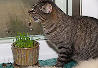 Lucca just nibbled on the grass; Kira dove in and yanked, often ending up with an entire plant pulled out, with roots and seed showing.  The pot is filled with newly germinated Avena sativa, tack oats.