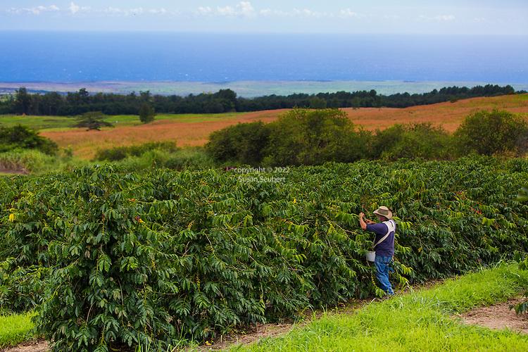 Hand harvesting coffee cherry on the plantation at the Ka'u Coffee Mill, in the district of Ka'u on the Big Island of Hawaii, USA, America