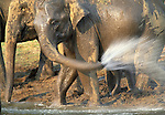 Indian elephants, Nagarhole National Park, India