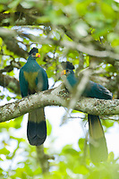 Great blue Turaco, Kibale National Forest, Uganda