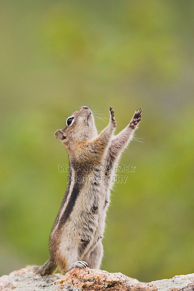 Golden-mantled Ground Squirrel (Spermophilus lateralis), female stretching, Rocky Mountain National Park, Colorado, USA