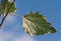 Silber-Pappel, Silberpappel, Pappel, Blatt, Blätter vor blauem Himmel, Populus alba, White Poplar