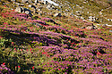 OR01644-00...OREGON - Brightly colored meadow of heather and paintbrush along the McNeil Point Trail in the Mount Hood Wilderness area.