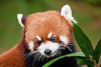 Red Panda (Ailurus fulgens), Guangdong Province, China.