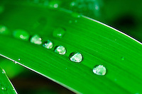 Rain drops gather on a leaf in Kew Gardens in London, England