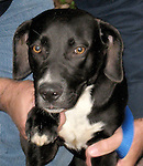 WATERTOWN CT-NOVEMBER 29 2011 - 112711DA02 (Pound by Town) DOLLY IS NOW MOLLY AND LIVE IN WATERTOWN<br /> <br /> Hi my name is Dolly, I am a sweet black lab mix about one year old. I am a rescue from down south and I am enjoying a new start in Ct. I just love to play with other dogs. I am very social and just want to be loved. I am spayed and up to date on my shots so I am all set and ready to go to my new home so please call my friend Lydia from Crepon Strays 203-233-9912.<br /> Darlene Douty Republican-American