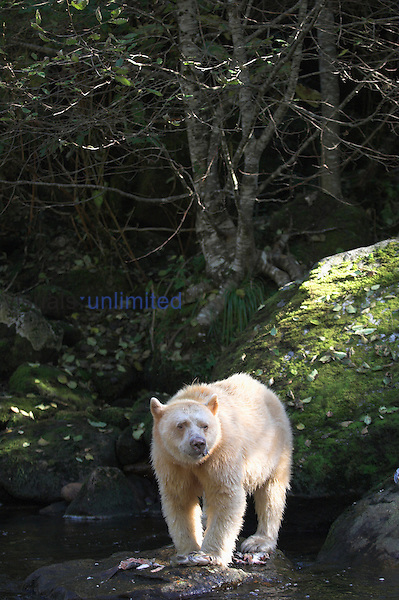 Extremely rare and elusive white phase of American Black Bear. Princess Royal Island, the Great Bear Rainforest, British Columbia, Western Canada.