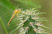 362750008 a wild female spot-winged meadowhawk sympetrum signiferum perches on a cactus plant in las cienegas state natural area santa cruz county arizona united states