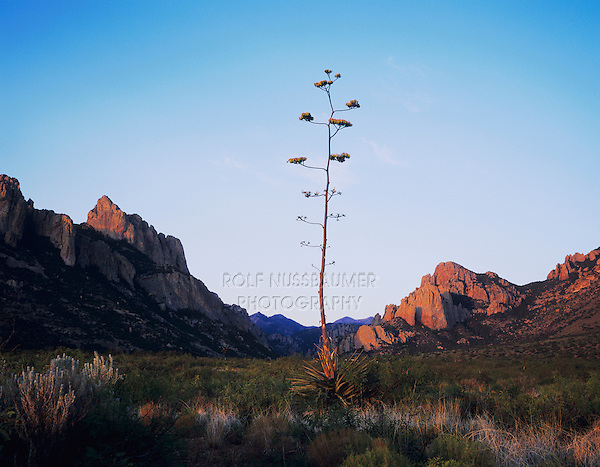 Agave (Agave sp.), blooming at sunrise, Chiricahua Mountains, Portal, Arizona, USA,