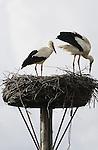 Foto: VidiPhoto<br /> <br /> LIENDEN - Nauwelijks teruggekeerd uit het warme Afrika, begint het ooievaarsechtpaar uit Lienden in de Betuwe dinsdag direct met het restaureren van het nest en vullen van de uitgehongerde maag. Gelukkig is een melkveehouder in de buurt net bezig met het bemesten van het land, zodat er voedsel genoeg te fourageren valt. Deze winter zijn er vermoedelijk zo'n 600 ooievaars in eigen land gebleven, fors minder dan vorig jaar, toen er 750 ooievaars weigerden te vertrekken. in 2015 waren er zo'n 2800 ooievaars in ons land, een aantal dat ieder jaar nog flink stijgt. Het gaat zo goed met de ooievaar dat de vogel inmiddels van de rode lijst is gehaald en ze juist voor grote overlast zorgen doordat ze het hebben voorzien op de kuikens van weidevogels.