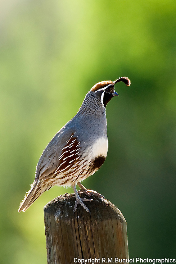 Gambel's Quail on Post at Bosque Del Apache NWR