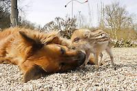 """Wildschwein, verwaistes, pflegebedürftiges, in Menschenhand gepflegtes, zahmes Jungtier spielt mit Hund im Garten, Freundschaft zwischen Hund """"Laska"""" und Wildtier, Wild-Schwein, Schwarzwild, Schwarz-Wild, Frischling, Junges, Jungtier, Tierkind, Tierbaby, Tierbabies, Schwein, Sus scrofa, wild boar, pig"""