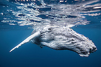 Close pass from a curious young humpback whale. (Photo by Underwater Photographer Matt Considine)