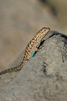 425900025 a wild great basin fence lizard sceloporus occidentalis longipes sits atop a large rock near eureka dunes california