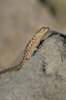 425900025 a wild great basin fence lizard sceloporus occidentalis longipes sits atop a large rock near eureka dunes california