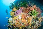 Bligh Waters, Rakiraki, Viti Levu, Fiji; a scuba diver swims alongside a wall covered in colorful soft corals, sea fans and green Black Sun Coral