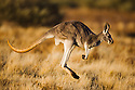 Australia,  NSW, Sturt National Park; red kangaroo female (Macropus rufus) hopping in grassland; the red kangaroo population increased dramatically after the recent rains in the previous 3 years following 8 years of drought