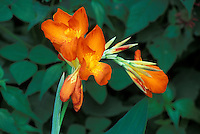 Tropical orange flower