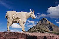 Mountain Goat,Oreamnos americanus, adult shedding winter coat Mount Reynolds, Glacier National Park, Montana, USA