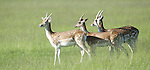Fallow Deer, Dama dama, Richmond Park, London, UK, herd together, male & female, buck with antlers & doe,