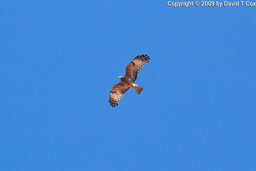 Square-Tailed Kite, Undara, Queensland, Australia