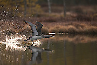 Red-throated diver (Gavia stellata)  taking off at dawn, Bergslagen, Sweden.