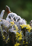 Juvenile great grey owls, Oregon